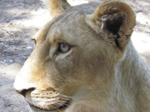 Beauty! Lion cub in South Africa
