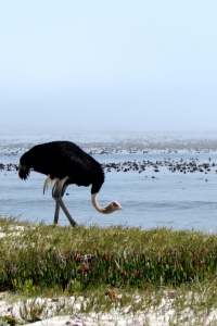 An ostrich at the Cape of Good Hope