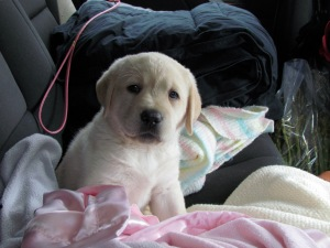 Meet Libby! My parents English Yellow Lab :)