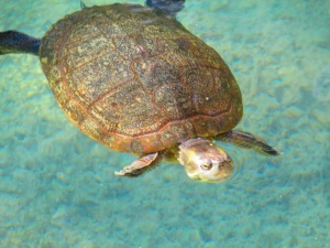 Turtle Swimming in Grand Cayman