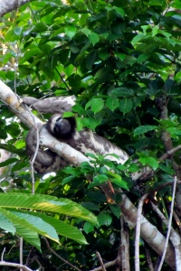 A 3 toed sloth, spotted from afar in Peru